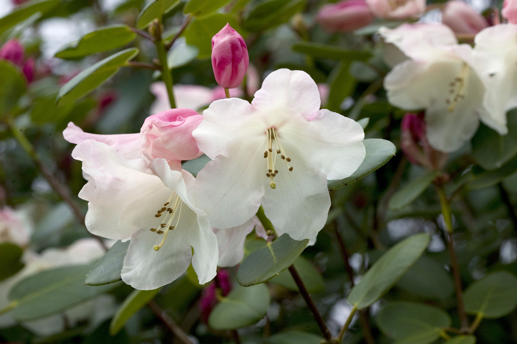Rhododendron-Willy-C07S3715